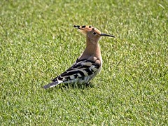 Hoopoe (alanrharris53) Tags: bird aves portugal algarve hoopoe golf course quintadolago