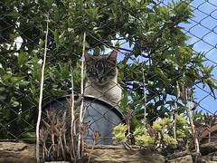 VOYEUR (josemaria.martinez) Tags: cat voyeur