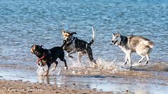 all together now (RCB4J) Tags: ayrshire clydecoast firthofclyde irvinebeach jakob rcb4j ronniebarron scotland sigma150500mmf563dgoshsm sonyilca77m2 art babygrace beach dobermanterrier dogs fun photography play playing sand siameselurcher traile trailhound