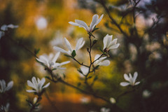 #212 - Magnolia / Magnolie (photo.by.DK) Tags: magnolia whitemagnolia bokeh bokehlicious filmlook 50mm fullframe planar planar50 planar5014 carlzeiss carlzeissplanar carlzeissplanar5014 zeiss zeisslens cz czplanar oldlens legacylens manuallens vintage vintagelens manualfocus manual manualondigital sonya7 sonyilce sony sonyalpha sonya7ii shotwideopen wideopen wideopenbokeh artbydk photobydk depthoffield
