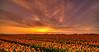 Oodles of orange. (Alex-de-Haas) Tags: 11mm adobe blackstone d850 dutch hdr holland irix irix11mm irixblackstone lightroom nederland nederlands netherlands nikon nikond850 noordholland photomatix beautiful beauty bloem bloemen bloementeelt bloemenvelden cirrus floriculture flower flowerfields flowers landscape landschaft landschap lente lucht mooi polder skies sky spring sun sundown sunset tulip tulips tulp tulpen zonsondergang