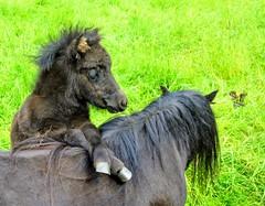 Mother and daughter (Maarten Kleijkamp) Tags: pony motheranddaughter adorable tender love