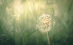 Dandelion (marcmyr) Tags: nature light nikon d610 green golden bokeh dof spring warm dandelion soft