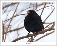 Blackbird (flatfoot471) Tags: 2018 bearsden bird blackbird eastdunbartonshire february nature normal scotland unitedkingdom winter gbr