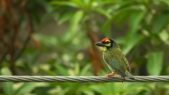 Coppersmith Barbet (darkskg) Tags: coppersmith barbet bird birdwatching birdsofbengal birdphotography indianbirds nikon nikongear nikond3400 nikkorlens lovetoclick naturelover