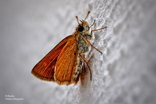 Lulworth skipper (Thymelicus acteon) (II)