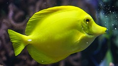 Yellow - 5280 (YᗩSᗰIᘉᗴ HᗴᘉS +17 000 000 thx) Tags: yellow fish poisson aquarium pairidaiza jaune hensyasmine namur belgium europa aaa namuroise look photo friends be wow yasminehens interest intersting eu fr greatphotographers lanamuroise tellmeastory flickering 7dwf