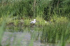 First Little Egret (Wildlife Terry) Tags: rspbleightonmoss silverdale lancashire northwestengland wildlifeandnature birdwatching flyinginsect amateurphotography june2018