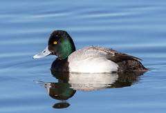 Greater Scaup (Ed Sivon) Tags: america canon nature lasvegas wildlife wild western water southwest desert duck clark county vegas bird flickr nevada henderson preserve