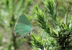 Where's Wally.... the Green Hairstreak (Kevin Pendragon) Tags: butterfly green shimmer wings bush spikes grassland summer sun small mature male outdoors