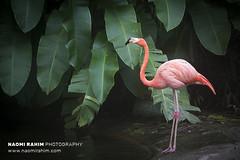 Flamingo - Jurong Bird Park, Singapore (Naomi Rahim (thanks for 3.9 million visits)) Tags: singapore 2017 asia travel travelphotography nikon nikond7200 wanderlust birds pink flamingos tropical jurong sanctuary zoo nature wildlife