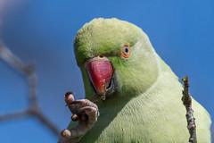 Munching Twiglets (pstani) Tags: england europe greatbritain kensingtongardens london psittaculakrameri bird fauna parakeet parrot ringneckedparakeet roseringedparakeet