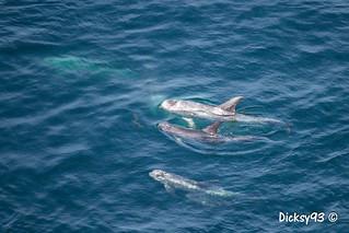 Dauphins de Risso et dauphins communs