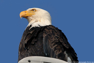 2018-06-10 Bald Eagle (1024x680)