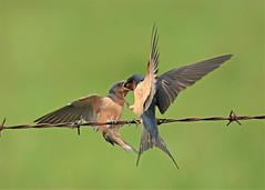 Barn Swallow parenting (hennessy.barb) Tags: swallow bird barnswallow hirundorustica parent fledgling feeding parenting nature wildlife hungry barbhennessy
