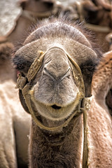Portrait of a camel (bag_lady) Tags: camel portrait diskit nubravalley ladakh india safari tourism himalayas