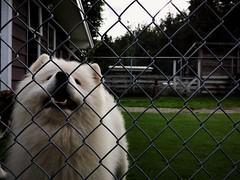 Mystic! (thnewblack) Tags: huawei p20 p20pro leica leicaoptics android smartphone dog samoid f18 10mp hdr