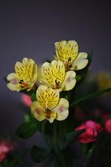 DSC_0328 Alstroemeria (PeaTJay) Tags: nikond750 sigma reading lowerearley berkshire macro micro closeups gardens indoors nature flora fauna plants flowers alstroemeria