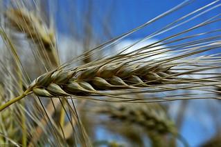 Grain Field #2