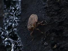 Issus planthopper from the Canary Islands (gbohne) Tags: geo:region=europe geo:country=spain animalia animals tier gliederfüser arthropoda arthropods taxonomy:subphylum=hexapoda insects insect insekten insekt insecta taxonomy:class=insecta pterygota taxonomy:subclass=pterygota neoptera taxonomy:infraclass=neoptera bug schnabelkerfe hemiptera taxonomy:order=hemiptera spitzkopfzikaden taxonomy:suborder=auchenorrhyncha taxonomy:infraorder=fulgoromorpha taxonomy:family=issidae issinae taxonomy:tribus=issini taxonomy:genus=issus taxonomy:phylum=arthropoda taxonomy:subfamily=issinae baumstamm al