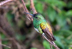 IMG_1278 Snowy-bellied Hummingbird (suebmtl) Tags: bird birding panama paraiso birdingparadise snowybelliedhummingbird hummingbird amaziliaedward