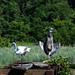 grey heron flashing white heron