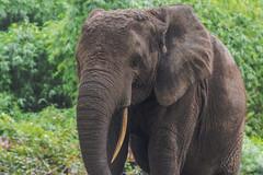 ELEFANTE DELLA FORESTA    ----    ELEPHANT OF THE FOREST (Ezio Donati is ) Tags: animali animals foresta forest alberi trees natura nature africa costadìavorio arealeslagunes