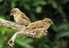 Beneficiaries Of Our Own Success. (Gary Helm) Tags: housesparrows bird birds sparrows animal wings fly flight feathers florida polkcounty nature wildlife outside outdoor ghelm4747 garyhelm yard image photograph sx60hs canon camera powershot grains seeds wild limb tree wood coth5