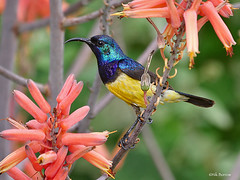 Variable Sunbird Cinnyris venustus falkensteini (nik.borrow) Tags: bird sunbird