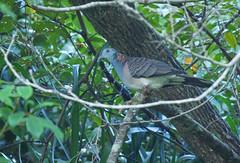 Bar-shouldered Dove (James_Preece) Tags: barshouldereddove columbidae m43 geopeliahumeralis leicadg100400f4063 panasonicdcgh5