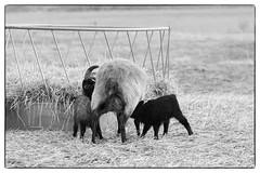 Emma & Her Lambs (Eline Lyng) Tags: monochrome monochrom bw blackandwhite outdoor field farm farmanimal animal sheep lamb gammelnorskspælsau norway countryside rural leica leicamonochrom m ccd leicalens aposummicron75mmf2 aposummicron 75mm manualfocus bokeh dof
