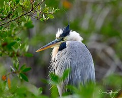 Harrumph! (craig goettsch - out shooting) Tags: sanibel2018 baileytract greatblueheron bird avian nature wildlife