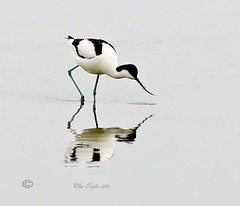 Avocet. (Olive Taylor. Thank you for your visit.) Tags: avocet birds beaks ponds water wildlife wild feathers reflections feeding northumberland northeastengland nature canon
