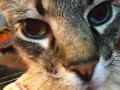 In Your Eyes (BKHagar *Kim*) Tags: bkhagar cat gato gatto kitty kitten feline face portrait eye eyes inyoureyes pet animal bramble kittyboy nose chat