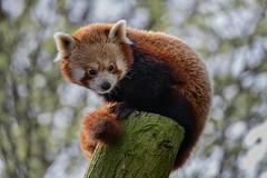 Sunning (- Jan van Dijk -) Tags: redpanda artis kleinepanda ailurusfulgens katberen zoogdier zoo dierentuin amsterdam