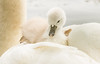 Swan and Cygnet(s)-8907 (Geoffrey Shuen Photography) Tags: swan cygnets