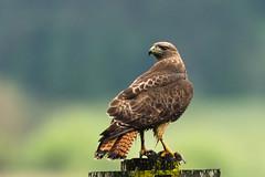 Hawk with breakfast (Brown Acres Mark (always 2 days behind)) Tags: redtailedhawk buteojamaicensis cascademountains southernoregon oregon usa markheatherington raptor