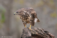 Poiana _014jpg (Rolando CRINITI) Tags: poiana rapaci uccelli uccello birds ornitologia cisliano natura
