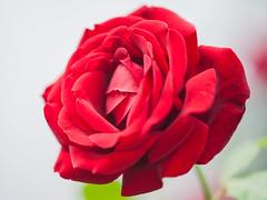 Primavera en México (ruifo) Tags: nikon d700 sigma 105mm f28 ex dg os hsm macro 11 flor flores flower flowers natureza naturaleza nature color colors colour colours cor cores colores rosa red rojo vermelho