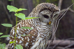 Barred Owl (DFChurch) Tags: corkscrewswamp audubon barred owl strixvaria wild wildlife bird feather raptor nature florida naples