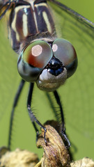 Dragonfly (Steve Gifford - IN) Tags: dragonfly dragon fly macro close up closeup eye eyes steve steven gifford picture photo photograph nature wildlife oxford oh ohio