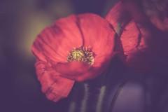 Poppy (michel1276) Tags: mohn blume poppy makro macro pentacon vintagelens m42 bokeh bokehlicious flower flora manualfocus