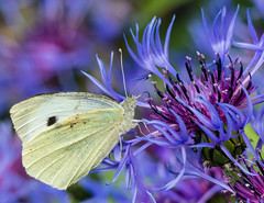 0130 (153) - Cabbage White Butterfly (Zana Benson) Tags: cabbagewhitebutterfly