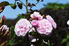 DSC_0171 (PeaTJay) Tags: nikond750 sigma reading lowerearley berkshire macro micro closeups gardens outdoors nature flora fauna plants flowers rose roses rosebuds