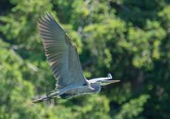 Great Blue Heron (Ardea herodias) (ekroc101) Tags: birds greatblueheron ardeaherodias bc tsawwassen tsatsushores