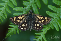 Chequered skipper (johncuthbert1) Tags: chequered skipper rare scotland insect butterfly glasdrum highlands