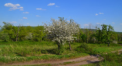 Blooming in the Zhiguli heights (МирославСтаменов) Tags: russia zhiguli mogutova byroad apple blooming tree meadow
