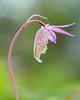 Calypso bulbosa, Norna, (Fjällkantsbon) Tags: villmyransnaturreservat sverige högakusten orkideer ångermanland evamårtensson norna angermanland hogakusten villmyransnaturereserve calypsobulbosa orchid