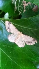 Tiny Moth! (Lindsaywhimsy) Tags: moth leaf garden