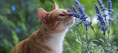 Salvia (andymiccone) Tags: cat katze katt kissa feline tabby chat gato red orange animal beautiful cute pet domestic salvia kitten flower blue purple